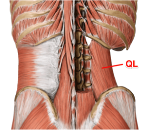 the quadratus lumborum muscle